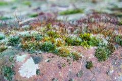Moss på en tegelsten Royaltyfri Bild