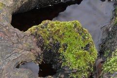 Moss på trä Royaltyfria Foton