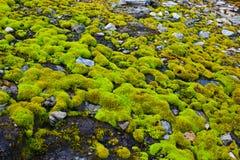 Moss på stenar Royaltyfria Bilder