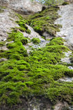 Moss på stenen arkivbild