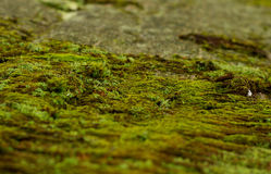 Moss på stenen Royaltyfria Foton