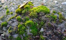 Moss på stenen Arkivfoton