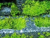 Moss på tegelsten Arkivbilder