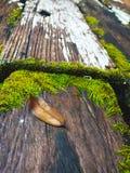 Moss på trä Arkivbild