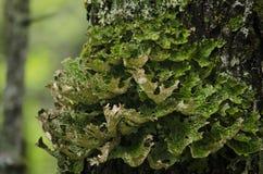 Moss på tre Arkivbild
