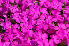 Moss Phlox Stock Images
