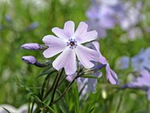Moss Phlox, Flammenblume subulata Emerald Cushion Blue Stockbilder