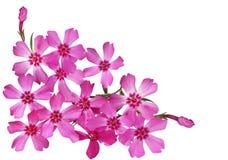 Moss Phlox Flower Imágenes de archivo libres de regalías