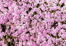 Moss phlox, Phlox subulata in full bloom during spring season. royalty free stock photo
