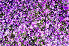Moss phlox Phlox subulata, or mountain phlox, creeping phlox, moss pink it is an evergreen perennial forming mats or cushions of Royalty Free Stock Photography