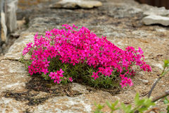 Moss phlox Royalty Free Stock Photography