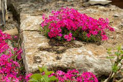 Moss phlox. Pink moss phlox of intensive color Royalty Free Stock Image
