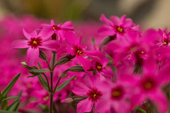Moss phlox. Pink moss phlox of intensive color Stock Photography