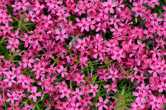 Moss phlox. Phlox, purple spring flowers texture background Royalty Free Stock Photo