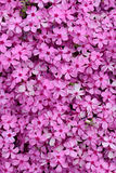 Moss phlox Royalty Free Stock Photos
