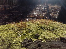Moss. Photo of a moss in a sunny spring day Royalty Free Stock Images