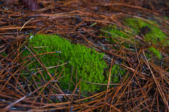 Moss in Pine Royalty Free Stock Photography