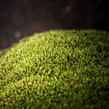 Moss (Plant) Closed Up Royalty Free Stock Photos