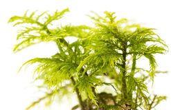 Moss plant in the detail. Macro photo royalty free stock images