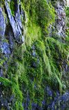 Moss and plants on the cliff Royalty Free Stock Photography