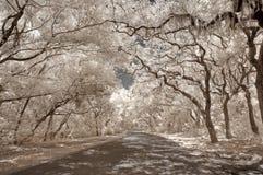 moss podczerwieni oaks hiszpańskich Obraz Stock