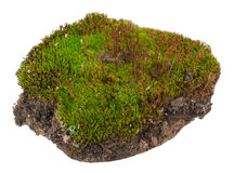 Moss: Polytrichum commune Stock Image