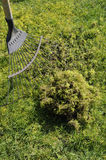 Moss. Problem lawn moss being removed from the grass with a spring tine rake Royalty Free Stock Images