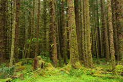 Moss of rain forest. Scene of moss covered hoh rain forest in olympic national park, washington, usa Royalty Free Stock Photography