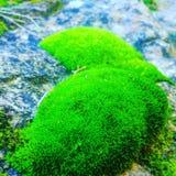 Moss. Real moss nature Stock Photo