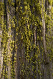 Moss on redwood royalty free stock images