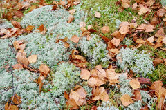 Moss or reindeer moss Stock Image