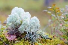 Moss or reindeer moss Stock Photos