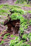Moss and remains of a rotten stump. In nature, nothing is wasted, a rotten stump becomes fertilized soil for a new life. Dovbush rocks climbing area in stock photos