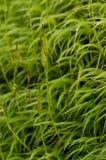 Moss Reproduction Imagen de archivo