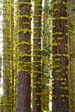 Moss Rings Around Tree Trunks foto de stock royalty free