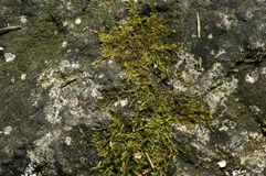 Moss on a rock. A closeup of a rock with some green moss Royalty Free Stock Photography