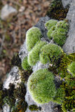 Moss on a rock. Extreme close-up of a moss on a stone in wood Royalty Free Stock Photography