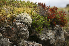 Moss on rock. Moss and berry bushes on rock up close Stock Photo
