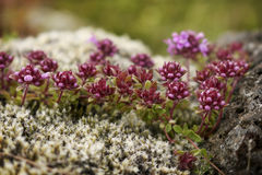 Moss on rock. Moss and purple flowers on rock up close Stock Images