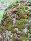 Moss in the Rockies. Moss on a rock in Southern Colorado Rockies along a trail Stock Image