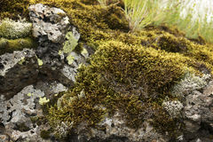 Moss on rock. Up close Royalty Free Stock Photos