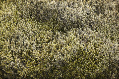 Moss on rock. Up close Royalty Free Stock Photography