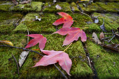 Moss on roof and Red Leaf Royalty Free Stock Photography