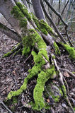 Moss on the root of a tree Royalty Free Stock Image