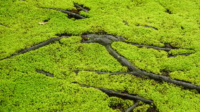 Moss and roots Royalty Free Stock Images