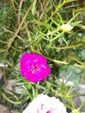 Moss Rose fotografia de stock