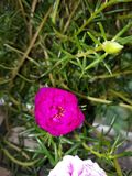 Moss Rose photographie stock