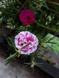 Moss Rose fotografia de stock royalty free