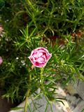 Moss Rose images stock