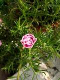 Moss Rose imagens de stock